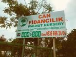 Chandler Walnut Saplings , High Quality - фото 1