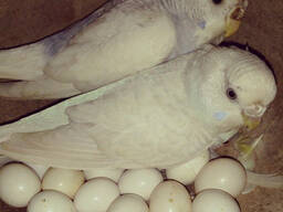 Fresh Parrot Fertile Eggs and Parrots For Sale