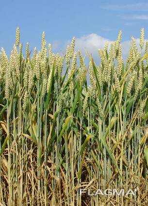 Пшеница – Wheat