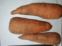 Venderé zanahorias al por mayor Kazajstán - фото 2
